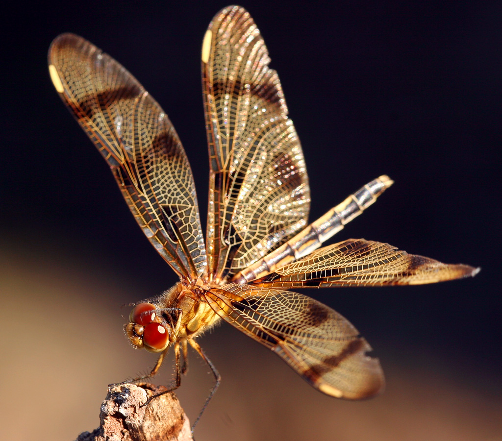 Dragonfly 96
